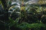 An Oil Palm Plantation in Borneo, Malaysia